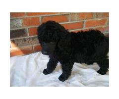 AKC 9 week old Standard Male Poodle