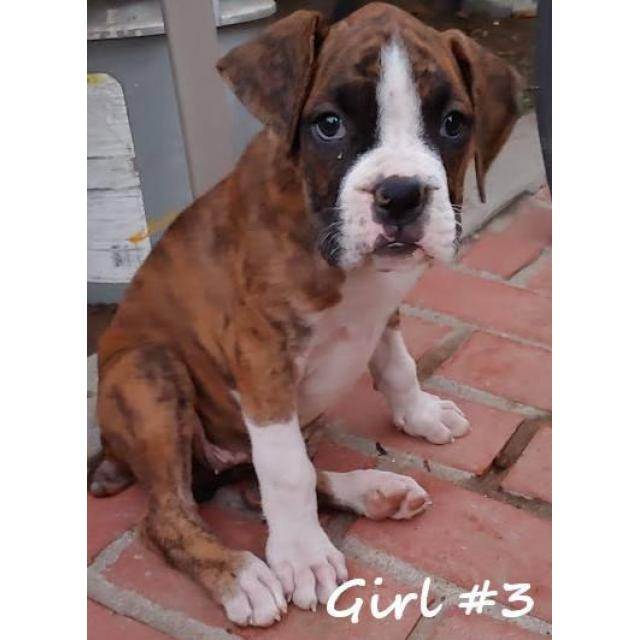 8 Beautiful Boxer Puppies For Adoption In Fresno California