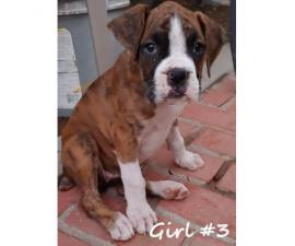 8 beautiful boxer puppies for adoption