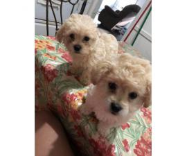 2 beautiful bichon frise puppies