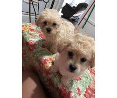 2 beautiful bichon frise puppies