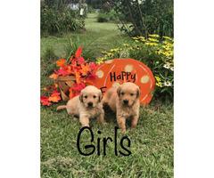 Akc golden retriever puppies - $800 in Jackson ...