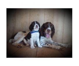 AKC English Springer Spaniel puppies. 2 males & 5 females