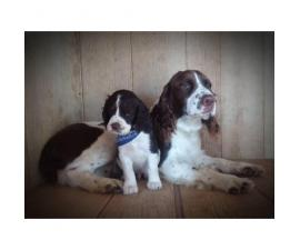 Akc English Springer Spaniel Puppies 2 Males Amp 5 Females In Mansfield Ohio Puppies For Sale
