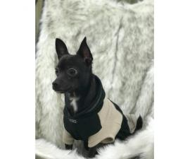 1 year old male black chihuahua for sale