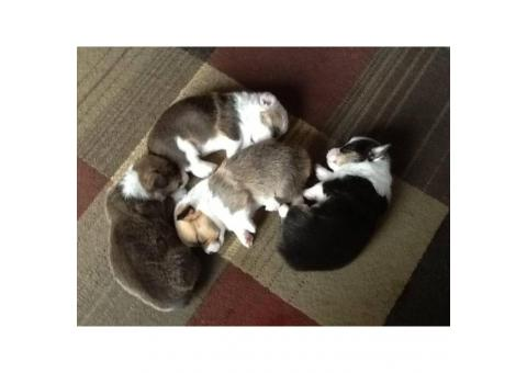 Tri-color  Corgi Puppies