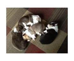 Tri-color  Corgi Puppies
