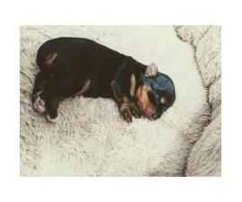 Full blooded 2 female Yorkie puppies