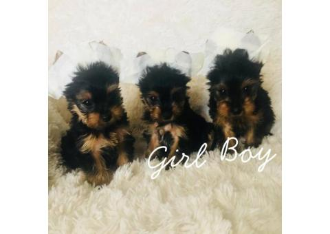 Beautiful male and female pure breed yorkies