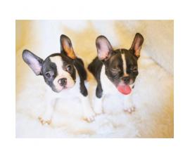 Adorable 8 Week Old Female And Male French Bulldog Pups For Sale