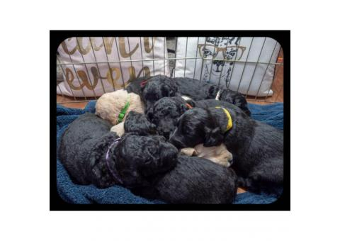 F2b Goldendoodle litter of 8 puppies