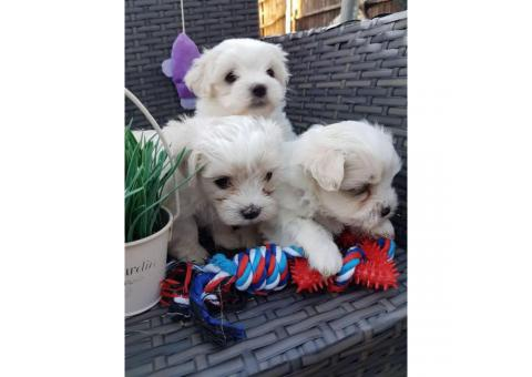 Tiny, cute, registered Maltese Puppy for sale