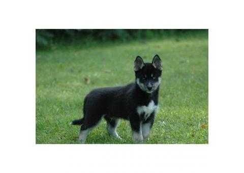 Pomsky male puppy ready for his forever home