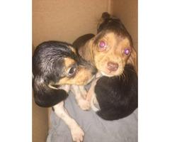Purebred Male Beagle puppies