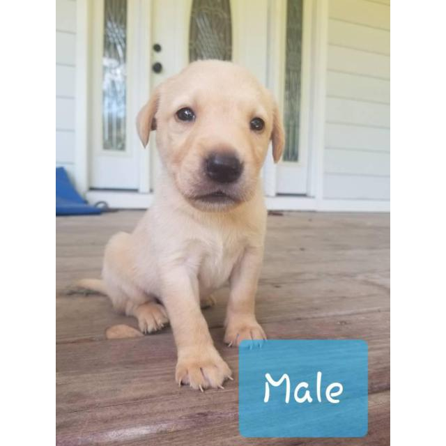 Akc Registered Yellow Black Lab Puppies In Mccomb Mississippi