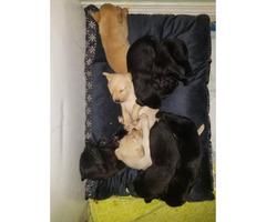 AKC registered Yellow & Black Lab puppies
