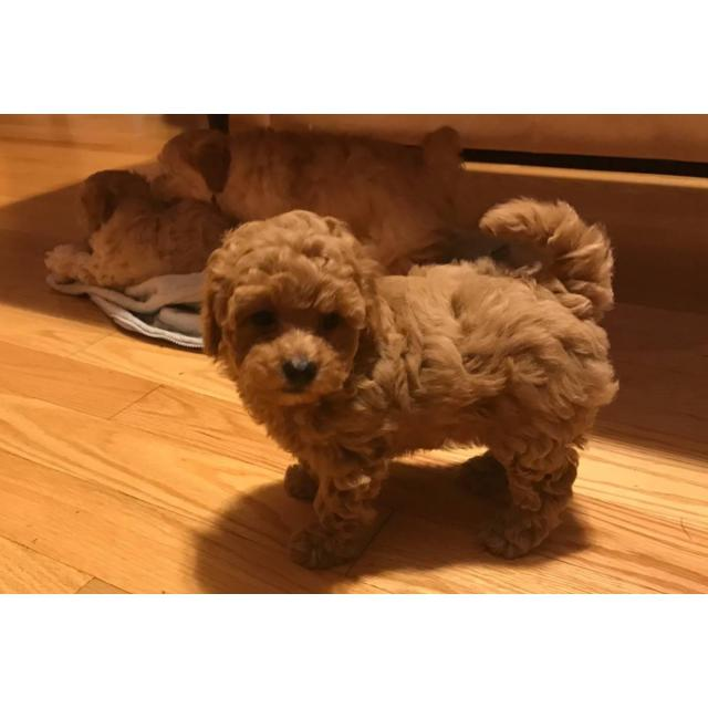 Apricot Maltipoo puppy for sale in Portsmouth , New Hampshire