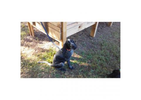 17 week old Bluetick Coonhound UKC Registered