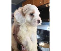 2 Adorable CKC registered Cockapoo puppies