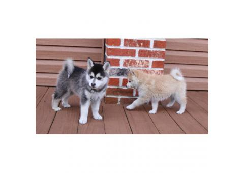 5 beautiful Pomsky Puppies available