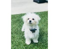 11 months old Maltese puppy