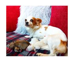 Applehead Chihuahua babies