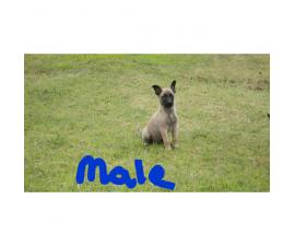 8 puppies belgian malinois mixed