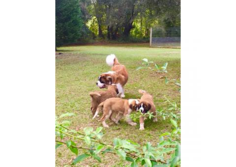 3 beautiful AKC registered St. Bernard puppies