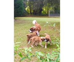 3 beautiful AKC registered St. Bernard puppies