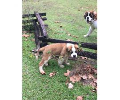 3 Beautiful Akc Registered St Bernard Puppies In Ashland Kentucky Puppies For Sale Near Me