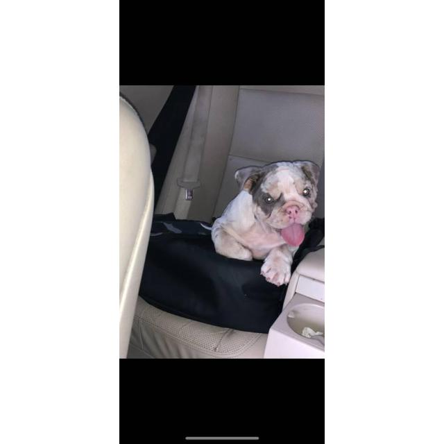 3 Months Old Akc Registered English Bulldog Pup In Atlanta Georgia Puppies For Sale Near Me
