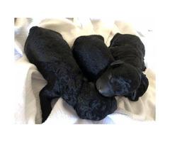 AKC miniature puppies