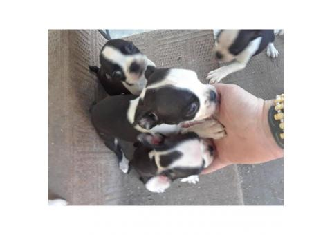 Only 4 females left Boston terriers