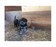 Farm raised Malador Puppies