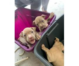 7 Bully puppies are available