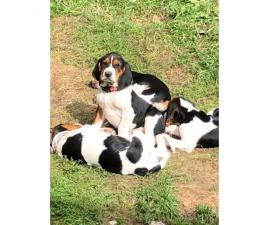 UKC registered Treeing Walker Coonhound puppies