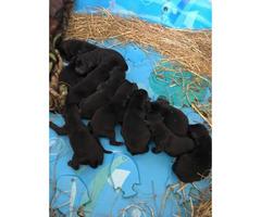 AKC registered lab puppies All black