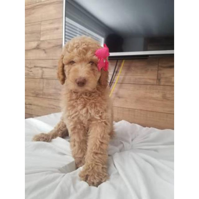 1 Male And 3 Females Goldendoodle Puppies In Cortez Colorado
