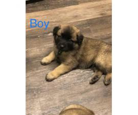 2 month old Akita Shepherd Mixed Puppies 1 Male 3 Females