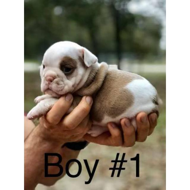 Full Akc English Bulldog Puppies 2000 In San Antonio Texas