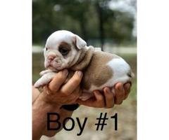 Full AKC English Bulldog puppies $2000