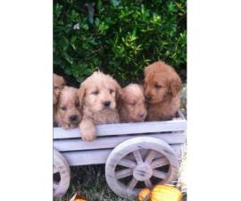 Sweet and lovable Labradoodle puppies with Soft curly coats