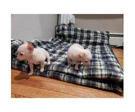 FOR SALE TWO CHIHUAHUA PUPS