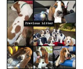 Only 2 CKC registered Basset Hound Puppies left
