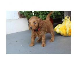 8 family raised Miniature Labradoodles for sale