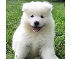 AKC Samoyed Puppies