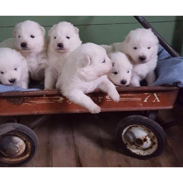 AKC Samoyed Puppies in Rochester, New York - Puppies for ...
