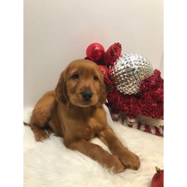 Male Irish Setters Puppies In Oklahoma Puppies For Sale Near Me