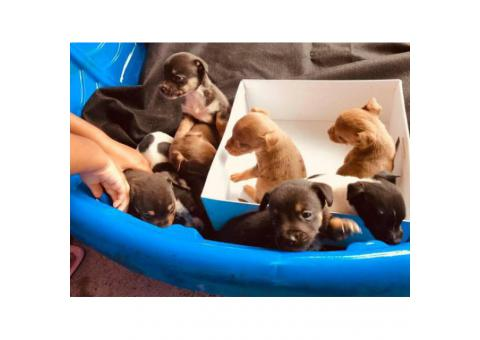 8 miniature pincher mix puppies