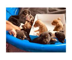 8 miniature pincher mix puppies
